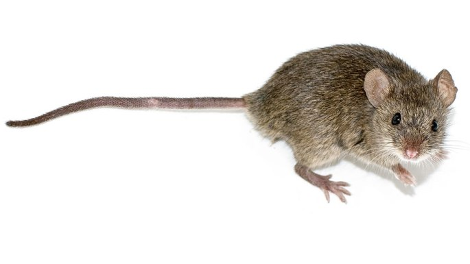 Bild einer Hausmaus