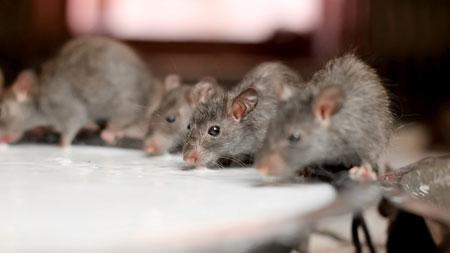Ein Bild von Mäusen die aus einer Schüssel Joghurt trinken