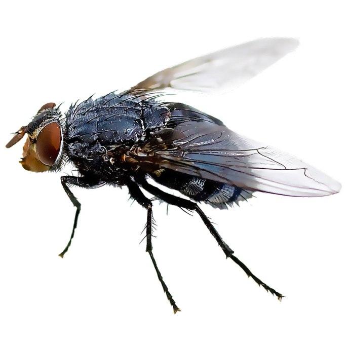 Bild einer Stubenfliege